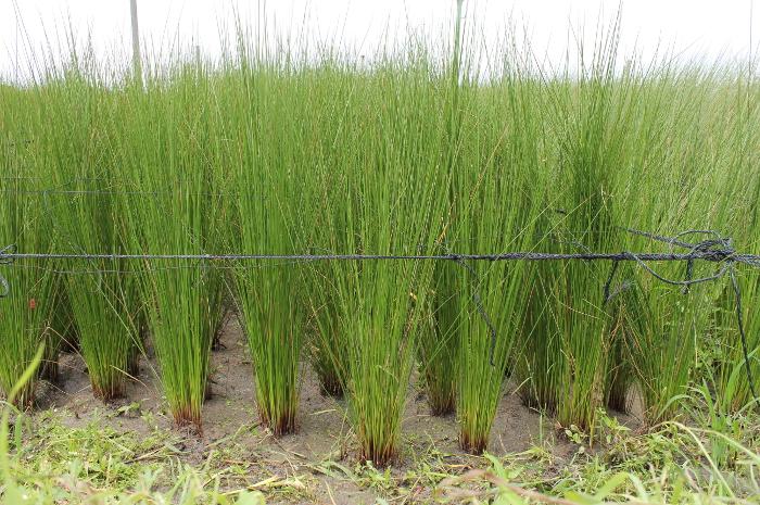 結い草イ草畑